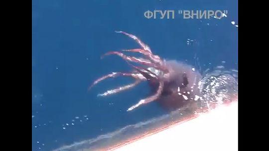 борьба российских рыбаков с кальмаром